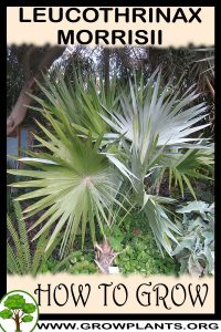 How to grow Leucothrinax morrisii