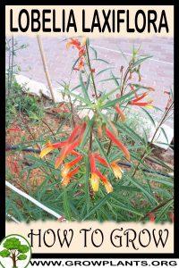 How to grow Lobelia laxiflora