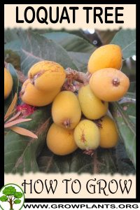 How to grow Loquat