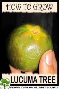 How to grow Lucuma tree