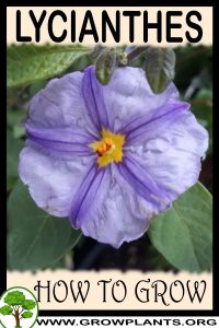 How to grow Lycianthes