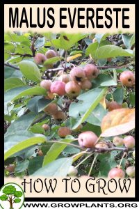 How to grow Malus Evereste