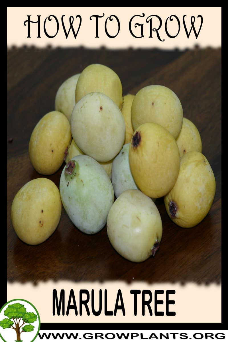 How to grow Marula tree