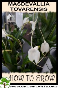 How to grow Masdevallia tovarensis