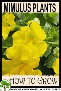 How to grow Mimulus plants
