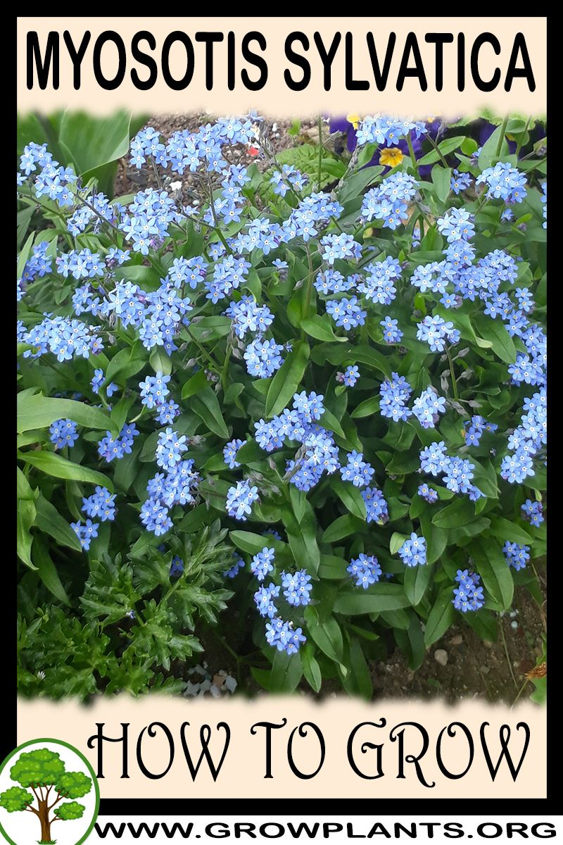 How to grow Myosotis sylvatica