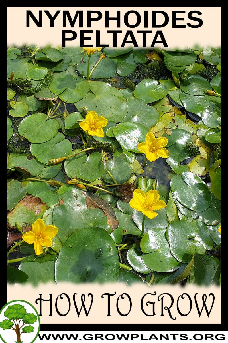 How to grow Nymphoides peltata