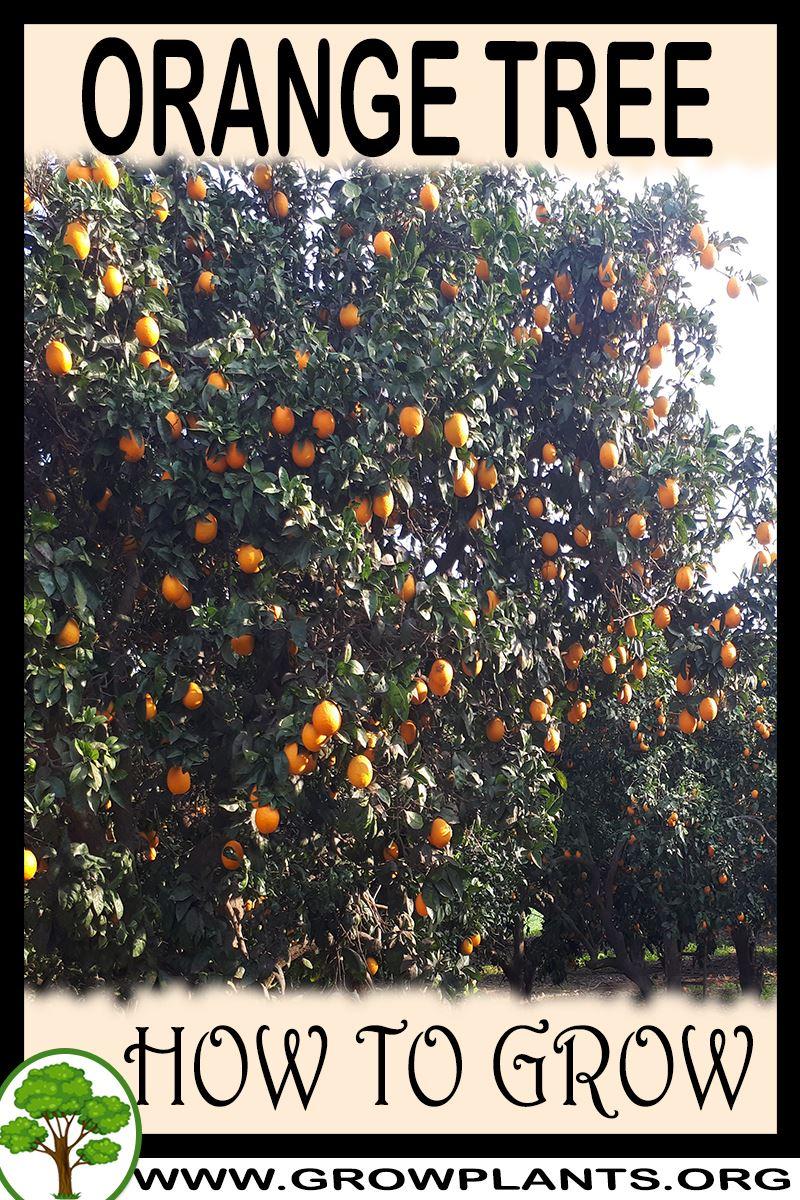 How to grow Orange tree