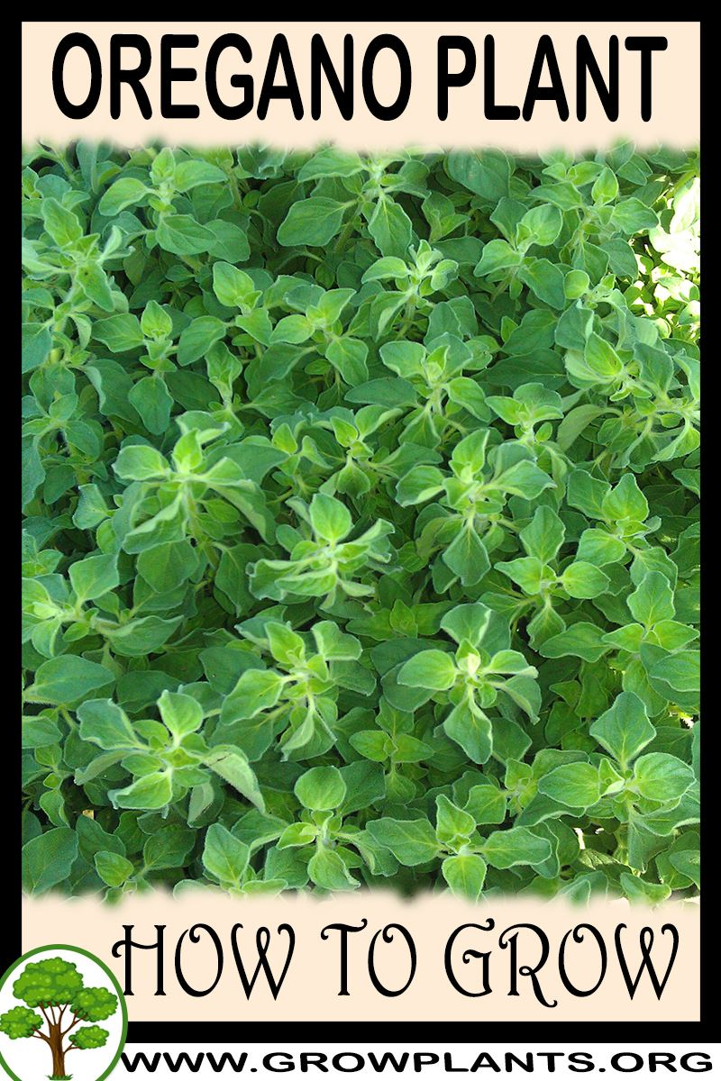 How to grow Oregano plant