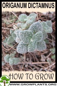 How to grow Origanum dictamnus