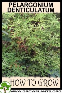 How to grow Pelargonium denticulatum