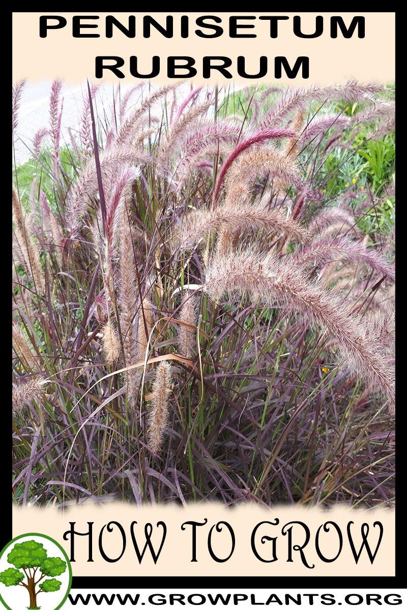 How to grow Pennisetum rubrum