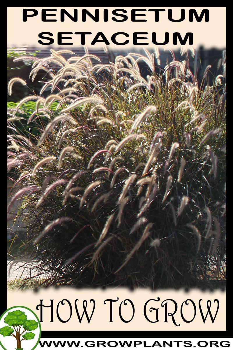 How to grow Pennisetum setaceum