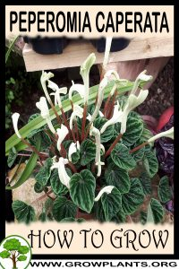 How to grow Peperomia caperata