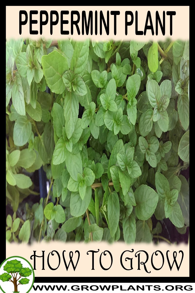 How to grow Peppermint plant