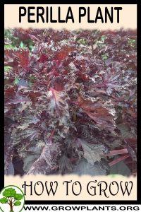 How to grow Perilla plant