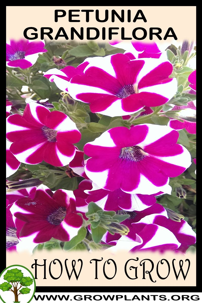 How to grow Petunia grandiflora