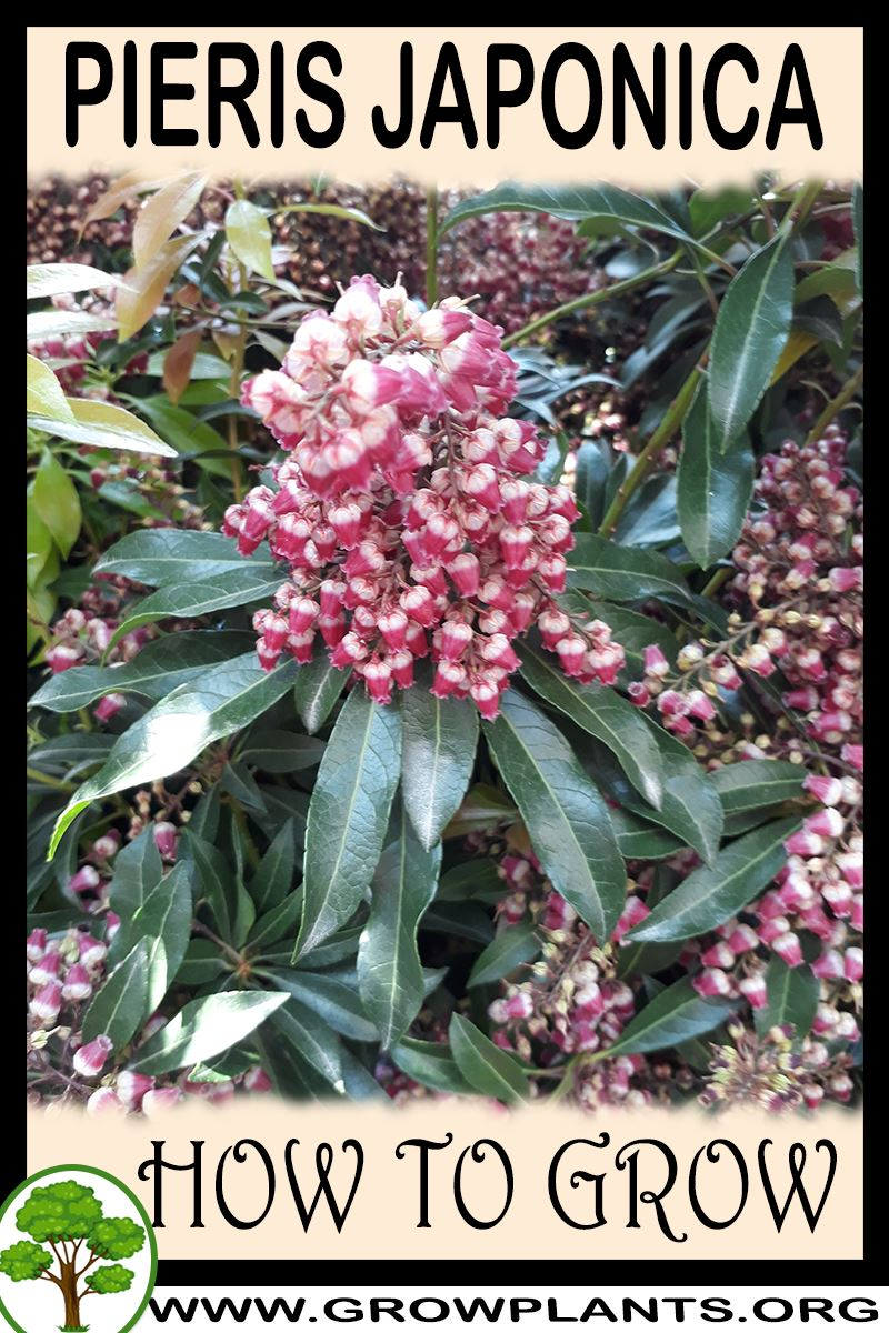 How to grow Pieris japonica