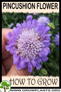 How to grow Pincushion flower