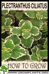 How to grow Plectranthus ciliatus