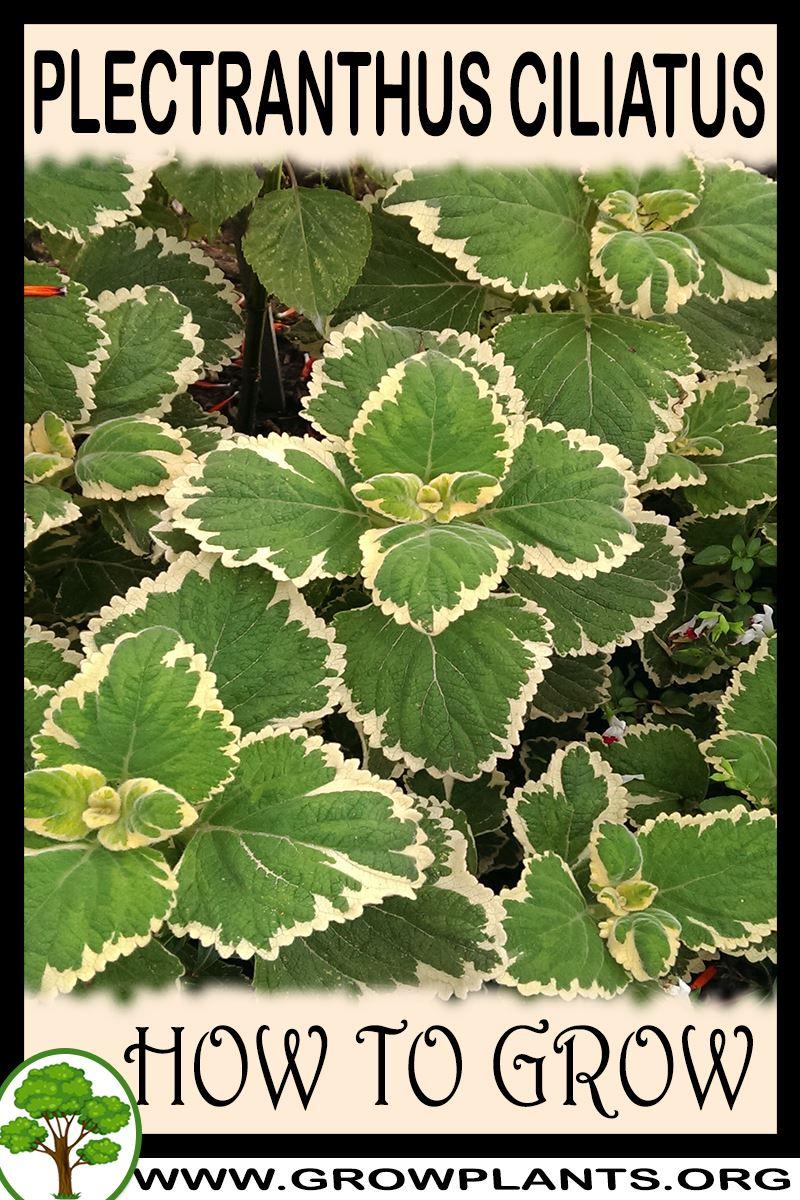 How to grow Plectranthus ciliatus