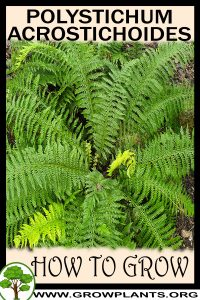 How to grow Polystichum acrostichoides