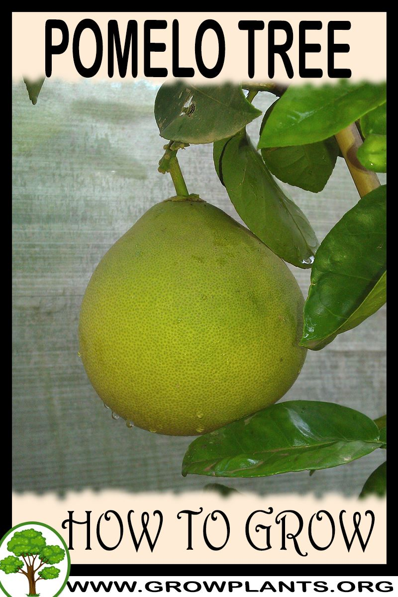 How to grow Pomelo tree
