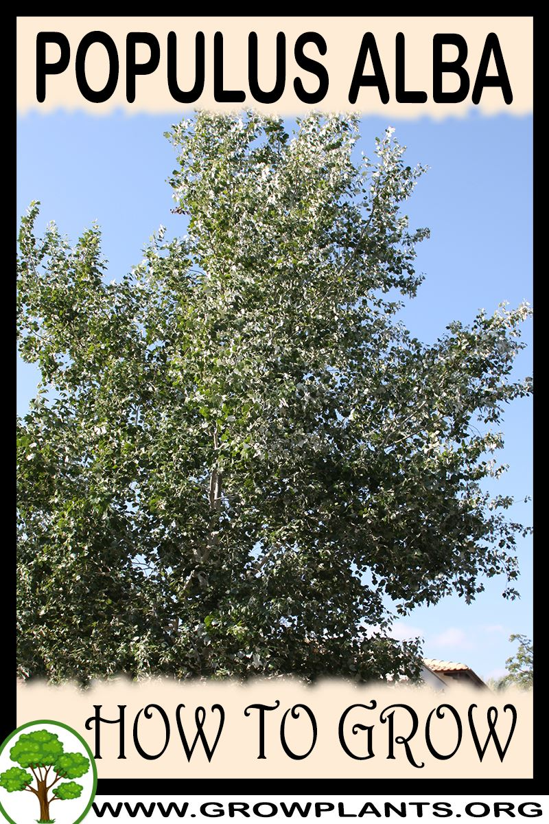 How to grow Populus alba