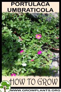 How to grow Portulaca umbraticola