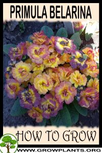 How to grow Primula belarina