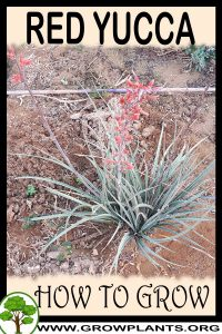 How to grow Red Yucca