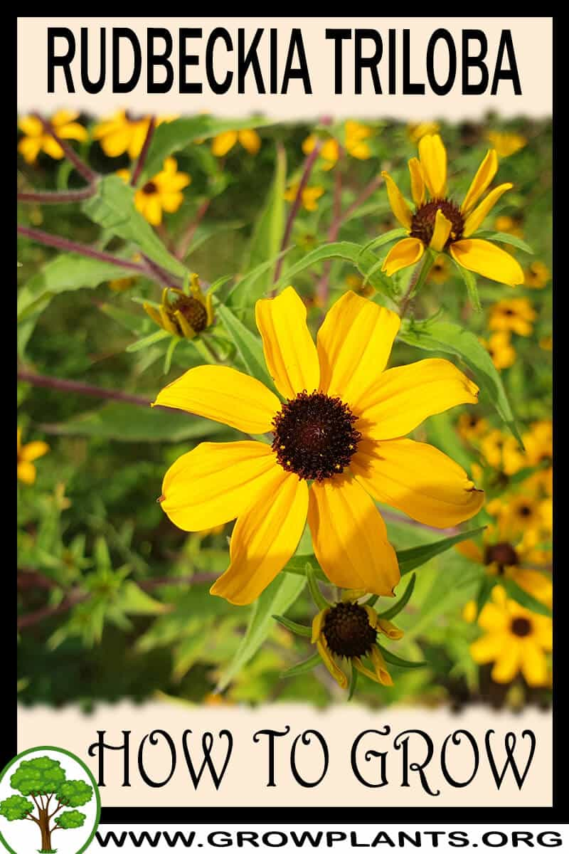 How to grow Rudbeckia triloba