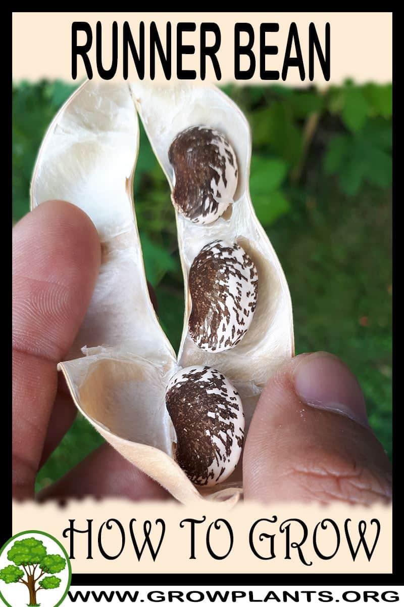 How to grow Runner bean