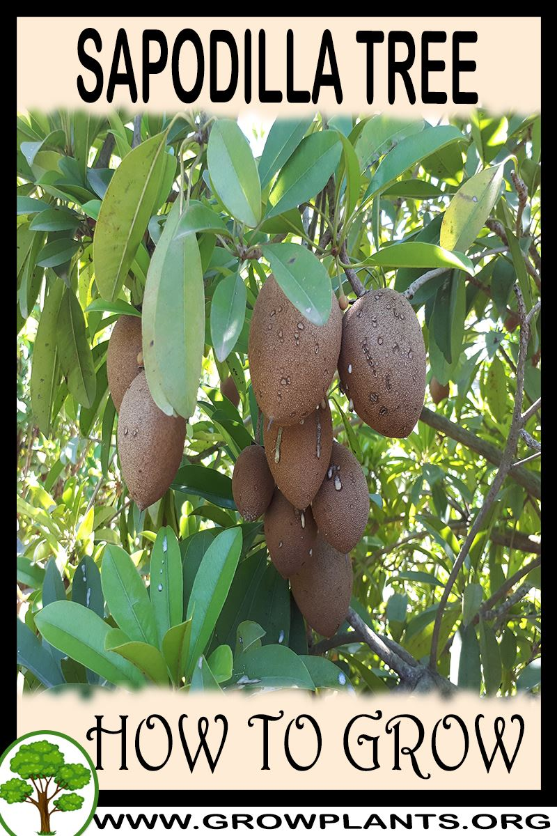 How to grow Sapodilla