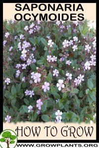 How to grow Saponaria ocymoides