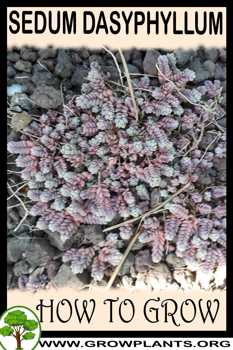 How to grow Sedum dasyphyllum