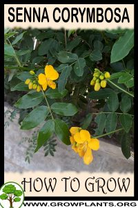 How to grow Senna corymbosa