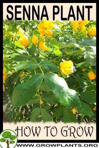 How to grow Senna plant