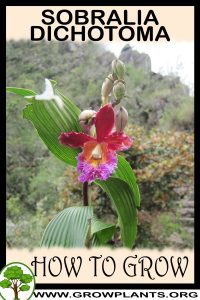 How to grow Sobralia dichotoma
