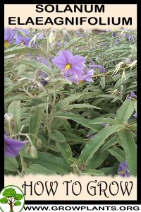 How to grow Solanum elaeagnifolium