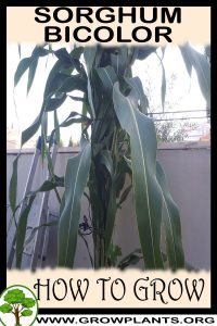 How to grow Sorghum bicolor
