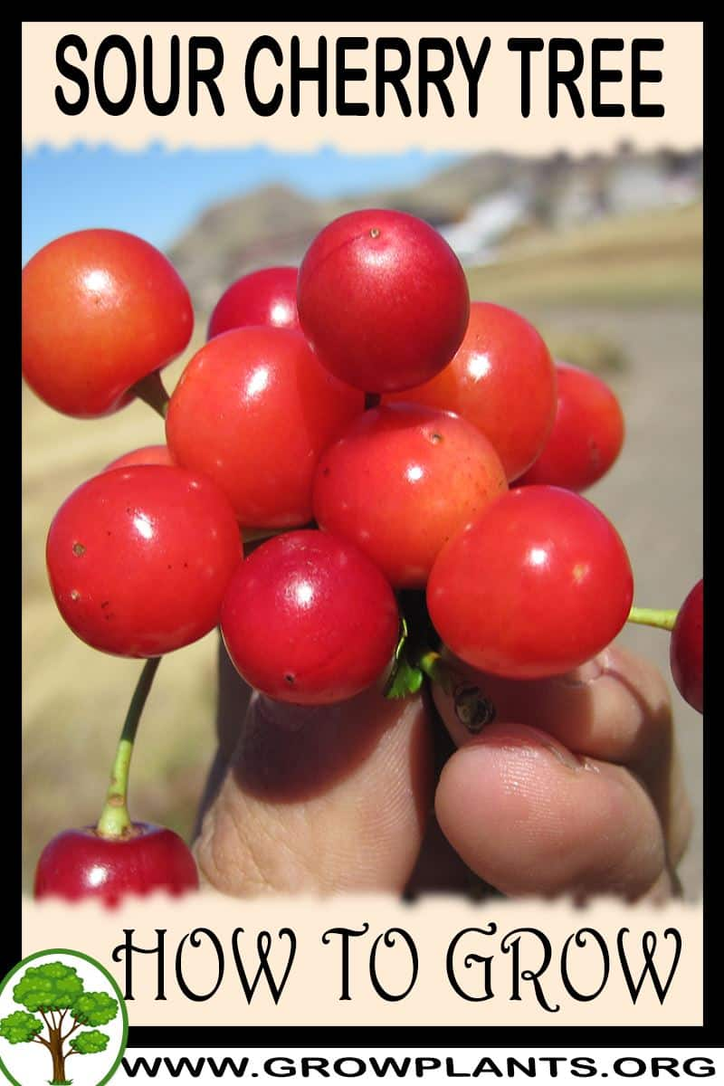 How to grow Sour cherry tree