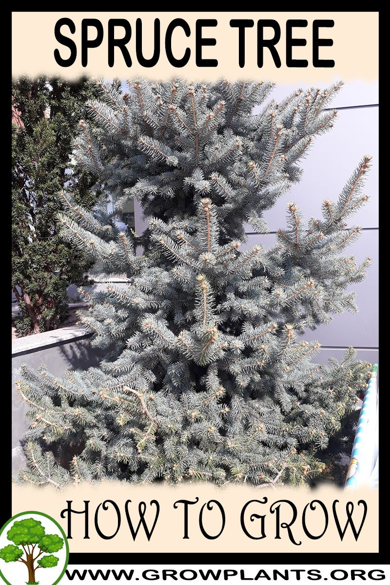 How to grow Spruce tree