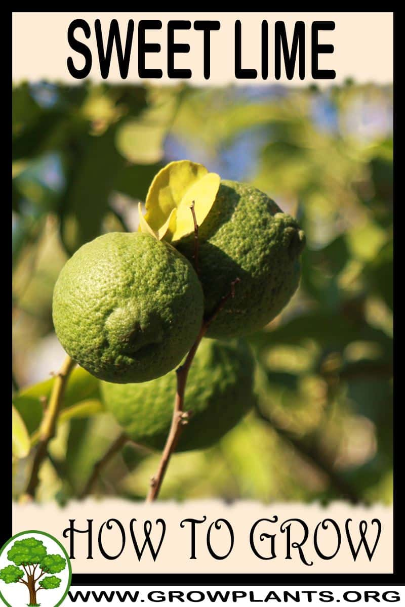 How to grow Sweet lime