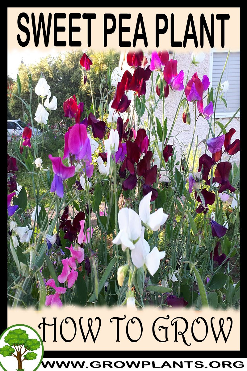 How to grow Sweet pea