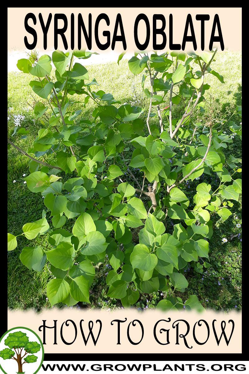How to grow Syringa oblata