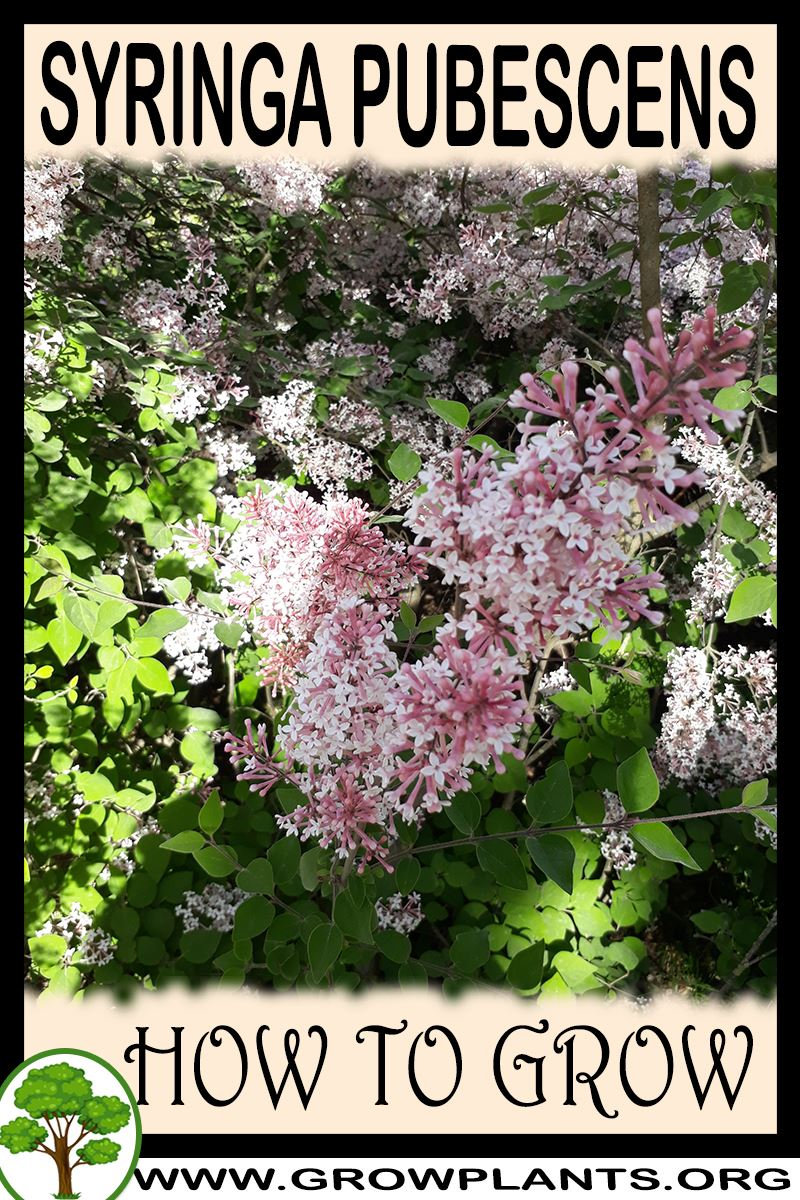 How to grow Syringa pubescens