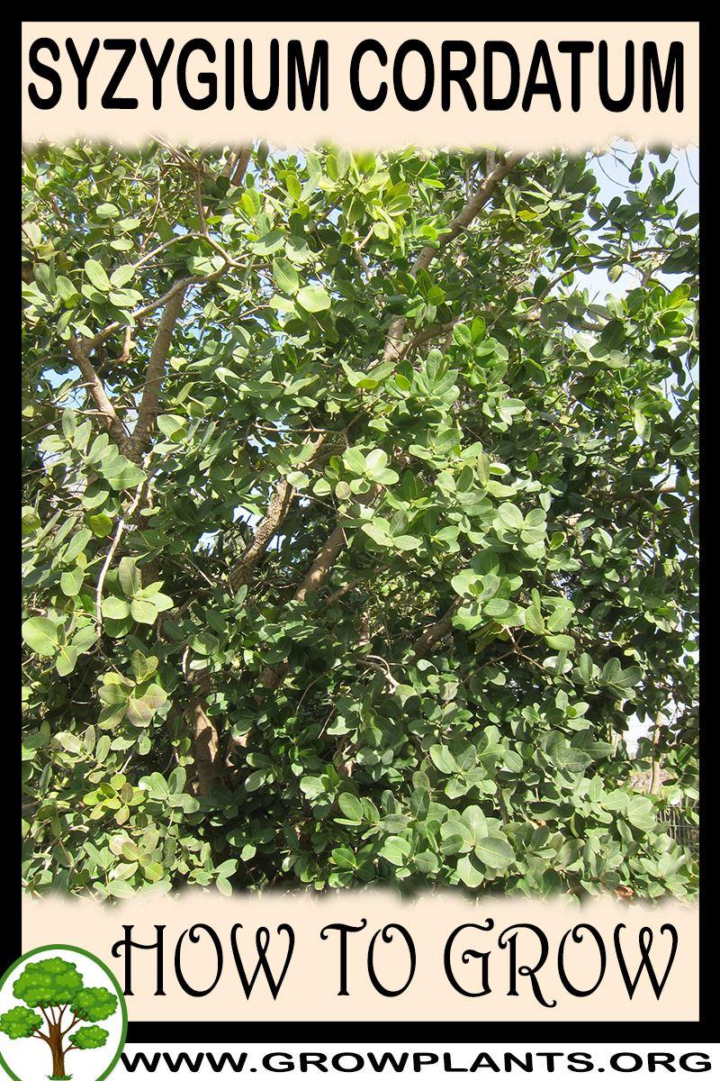 How to grow Syzygium cordatum