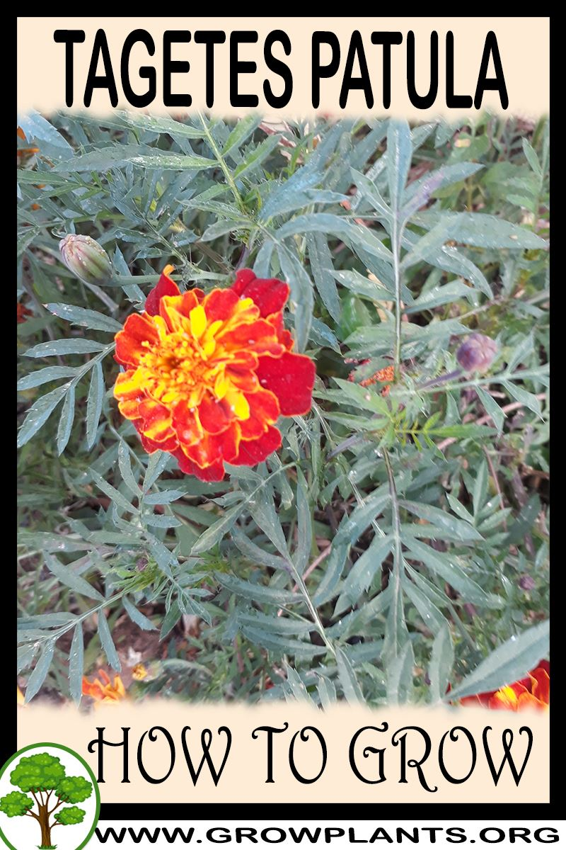 How to grow Tagetes patula