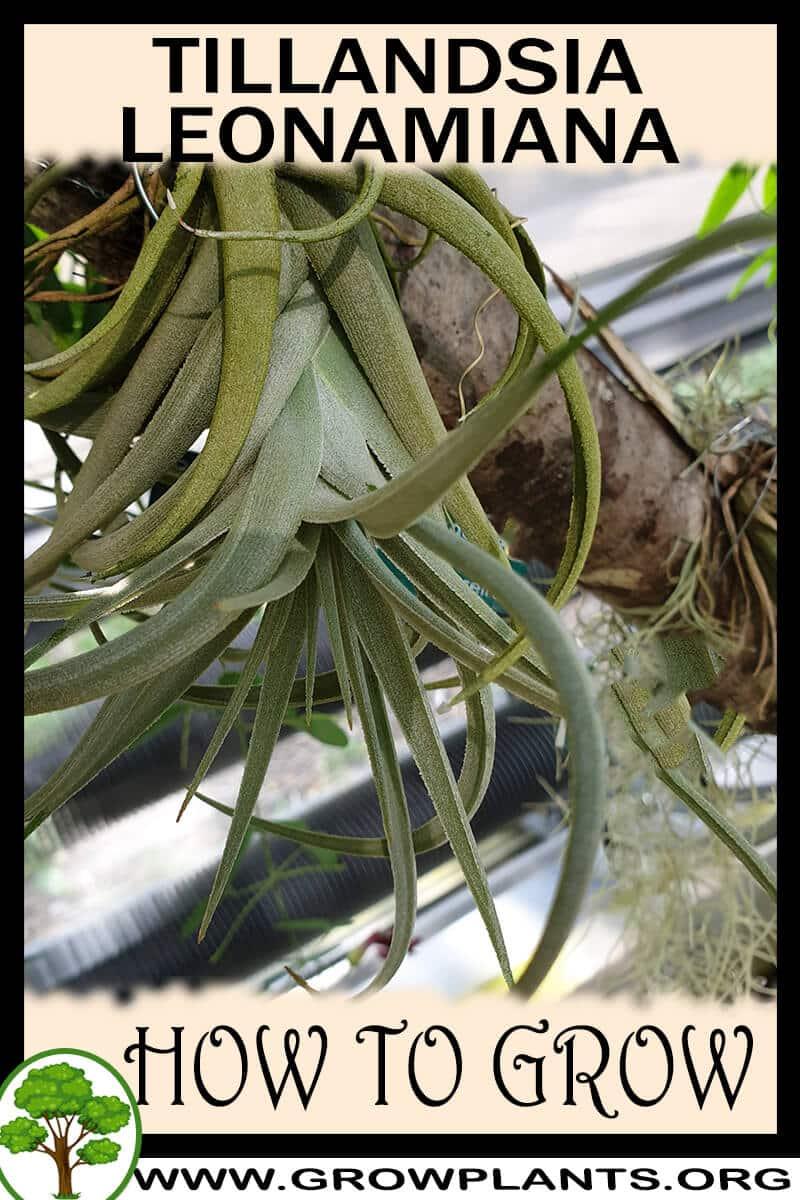 How to grow Tillandsia leonamiana